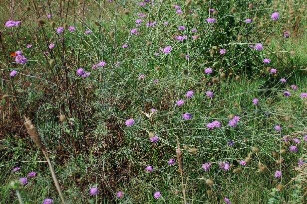 Sixalis atropurpurea subsp. maritima 20