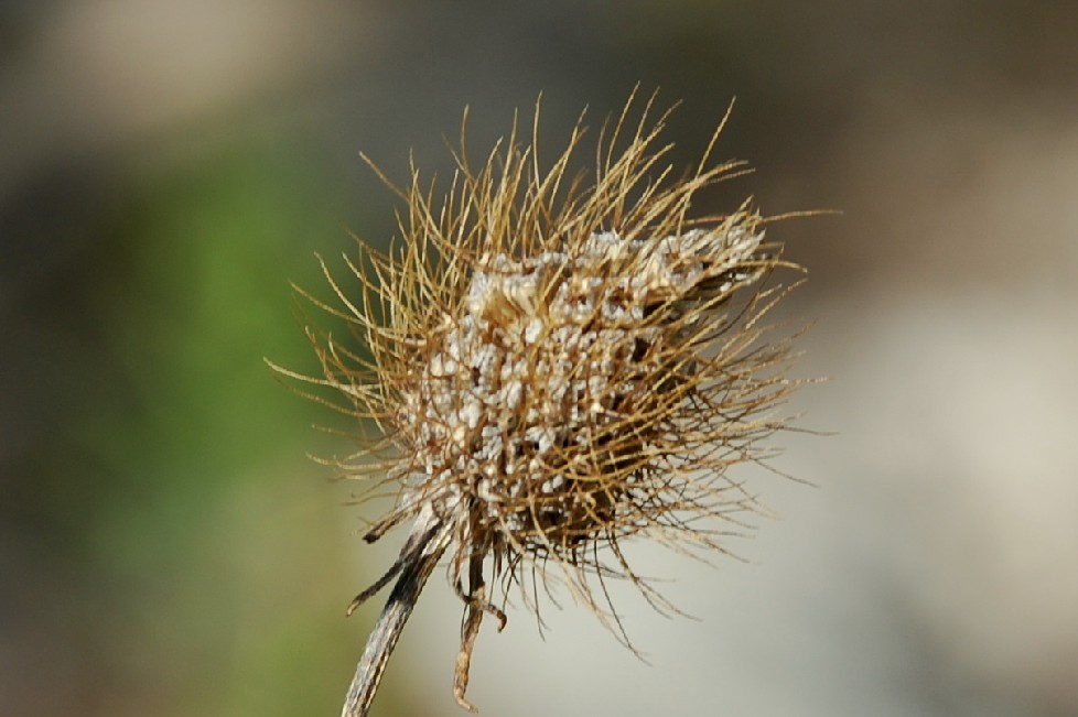 Sixalis atropurpurea subsp. maritima 5