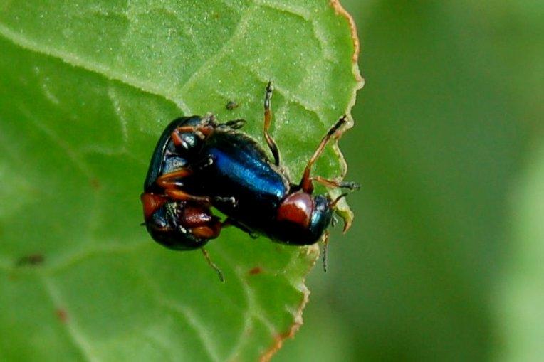 Smaragdina sp. - Chrysomelidae