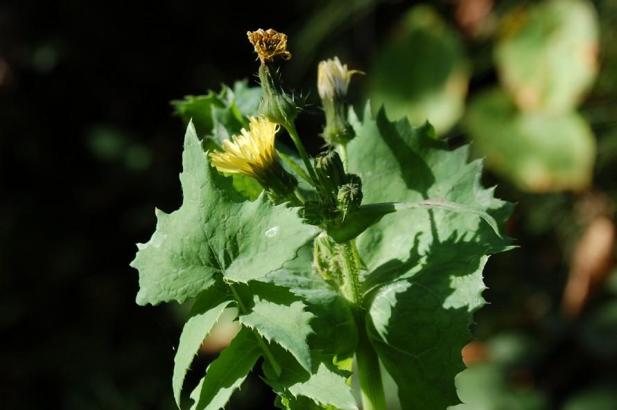 Sochus oleraceus