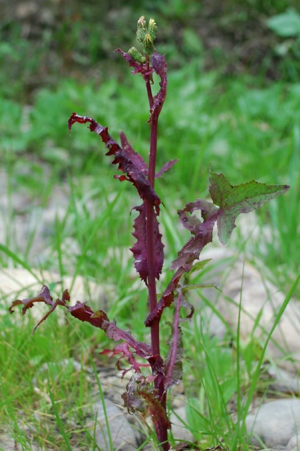 Sochus oleraceus 2