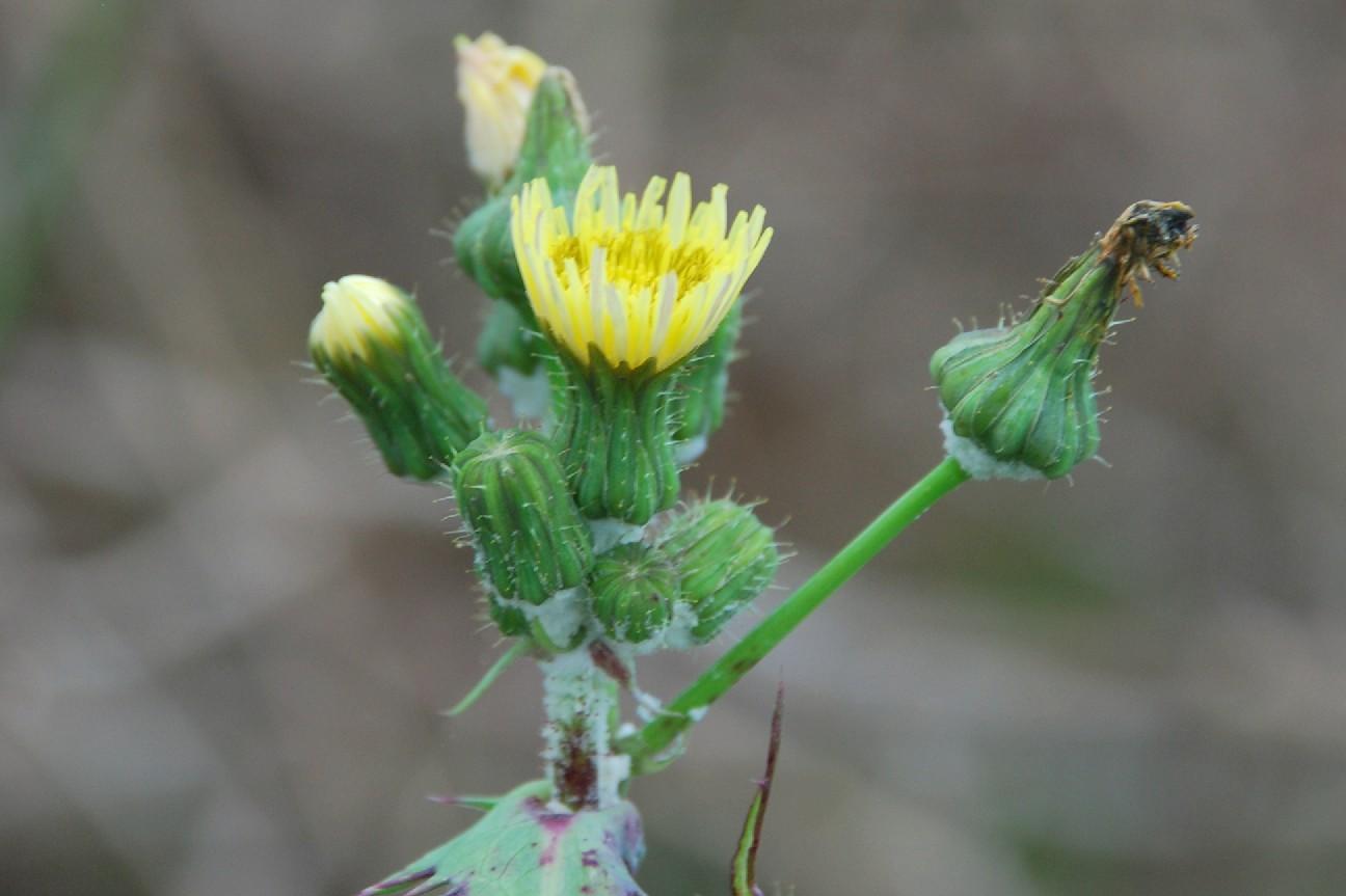 Sochus oleraceus 7