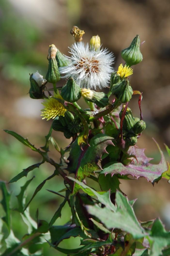 Sochus oleraceus 8