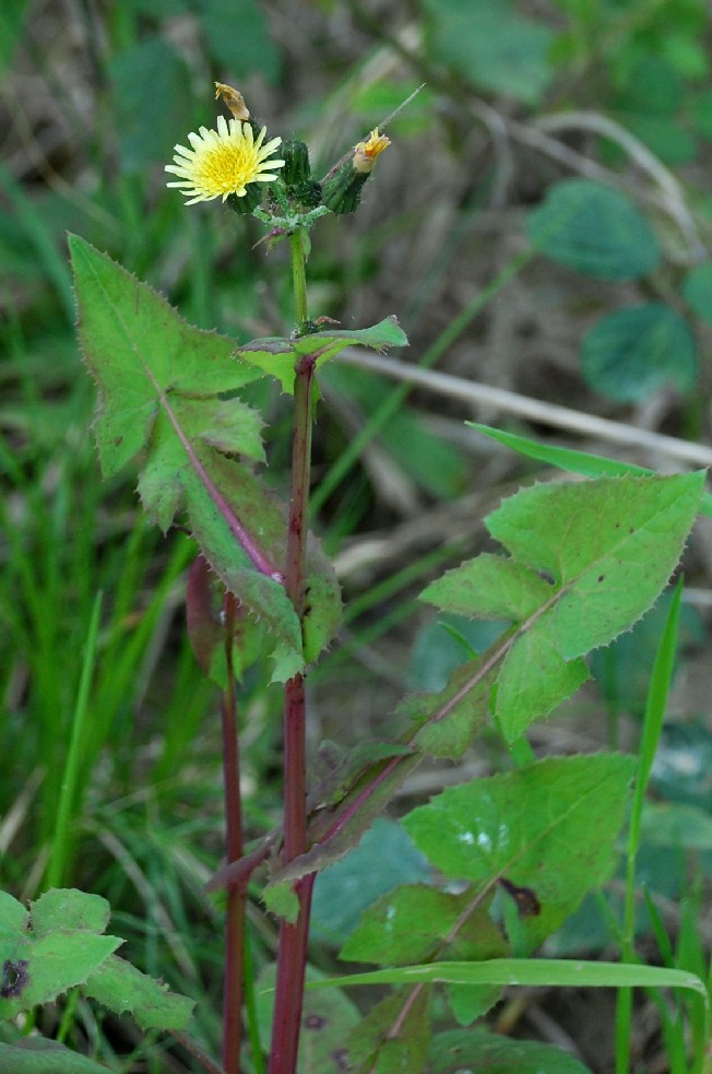Sochus oleraceus 9