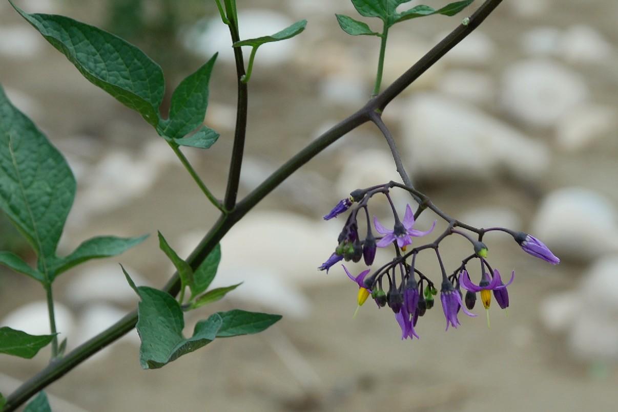 Solanum dulcamara 13