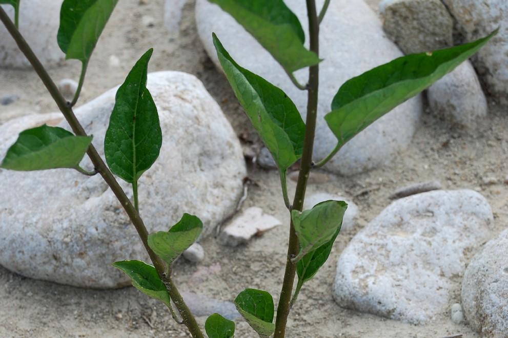 Solanum dulcamara 16
