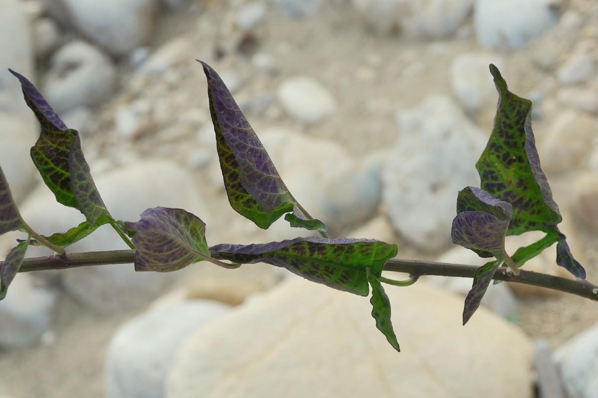 Solanum dulcamara 17