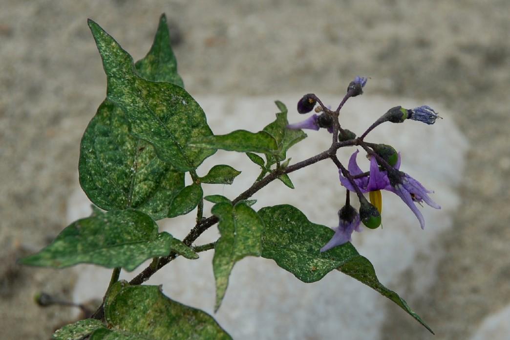 Solanum dulcamara 24