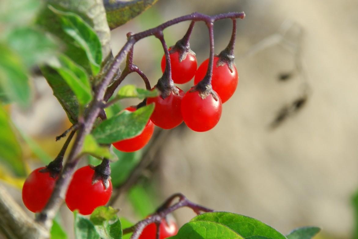 Solanum dulcamara 27
