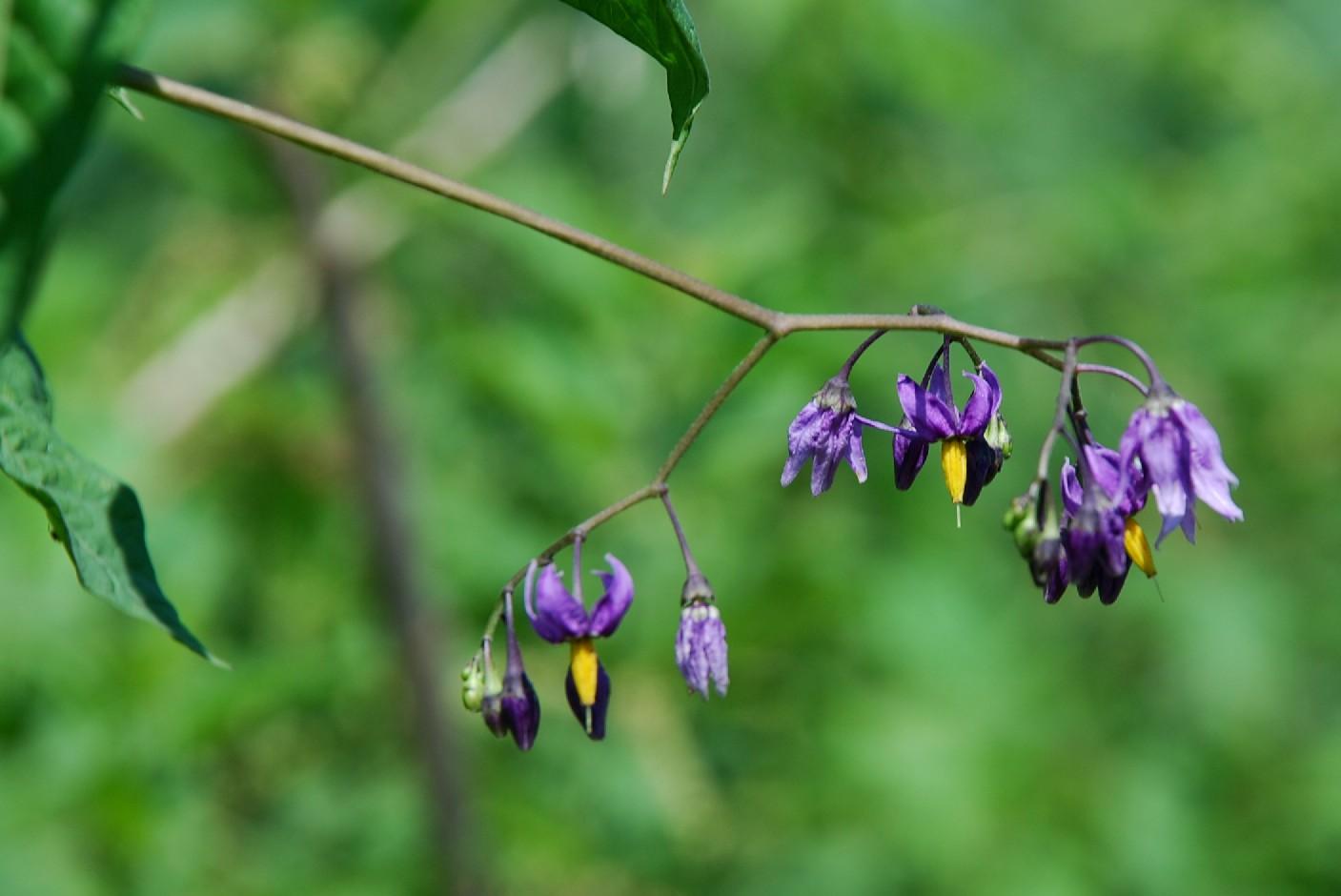 Solanum dulcamara 4