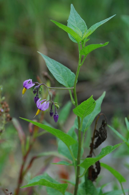 Solanum dulcamara 7