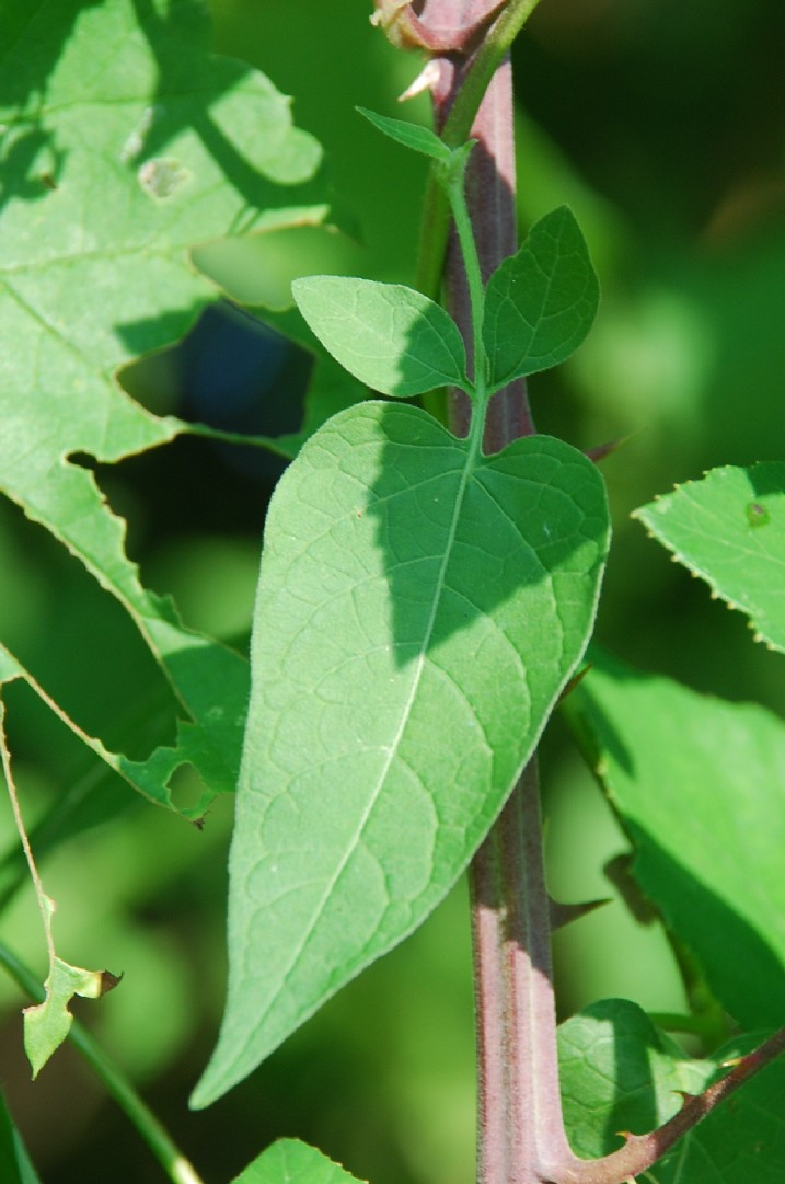 Solanum dulcamara 9