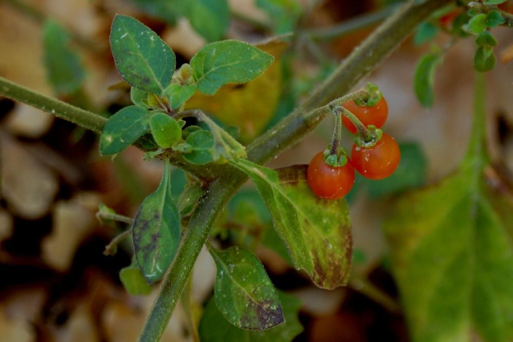 Solanum luteum subsp. luteum