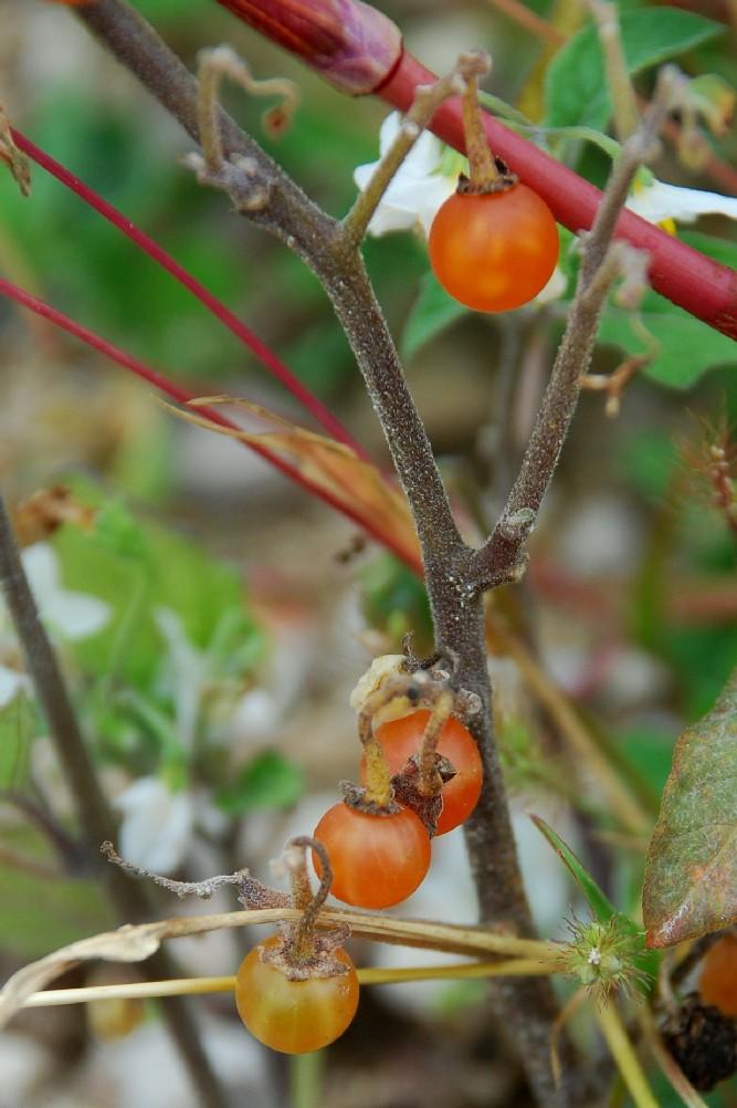 Solanum luteum subsp. luteum 11
