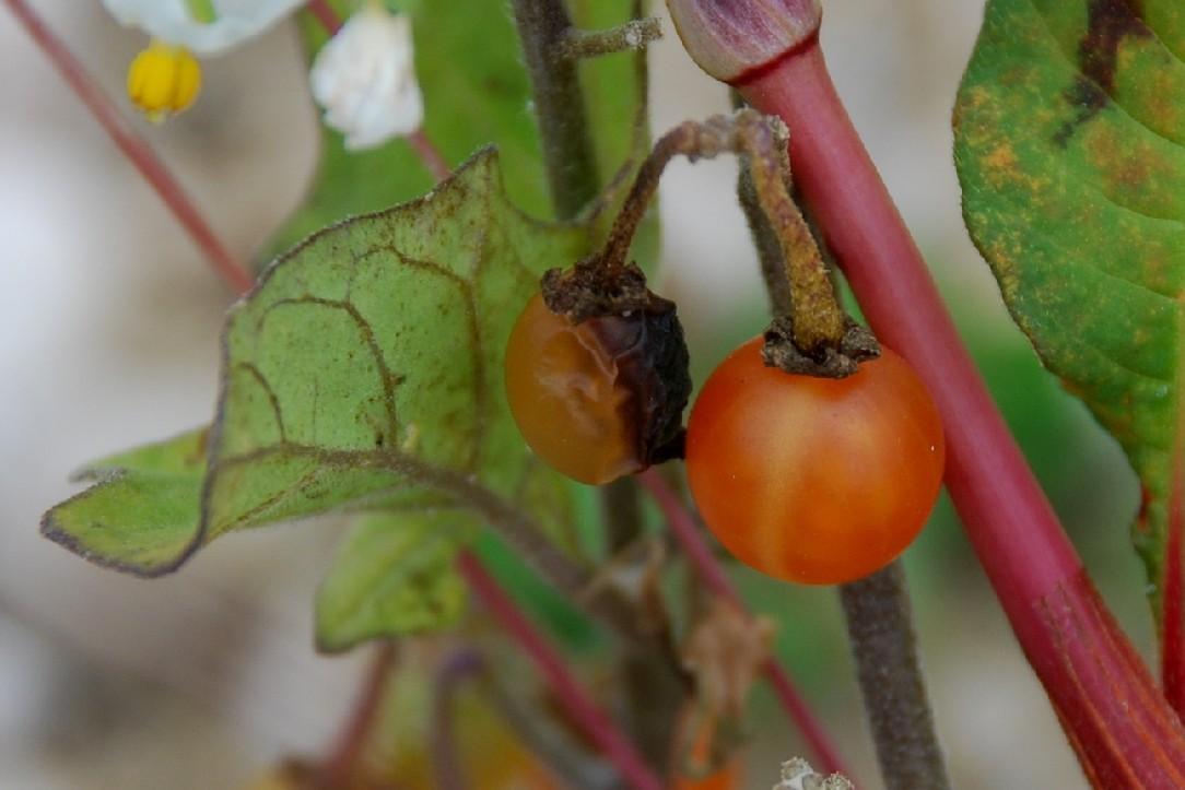 Solanum luteum subsp. luteum 12