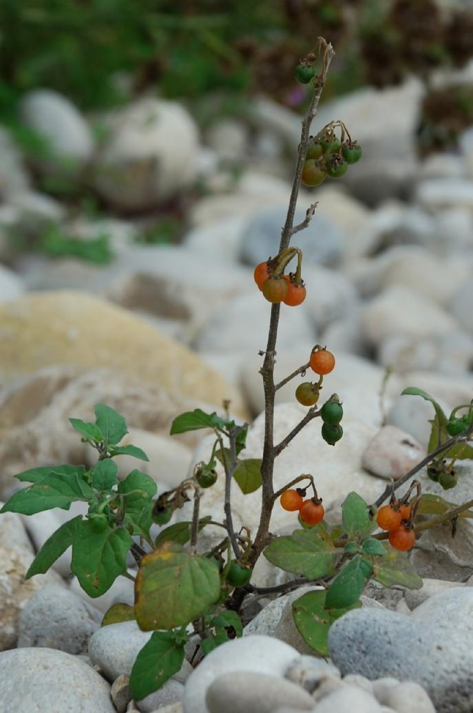 Solanum luteum subsp. luteum 13