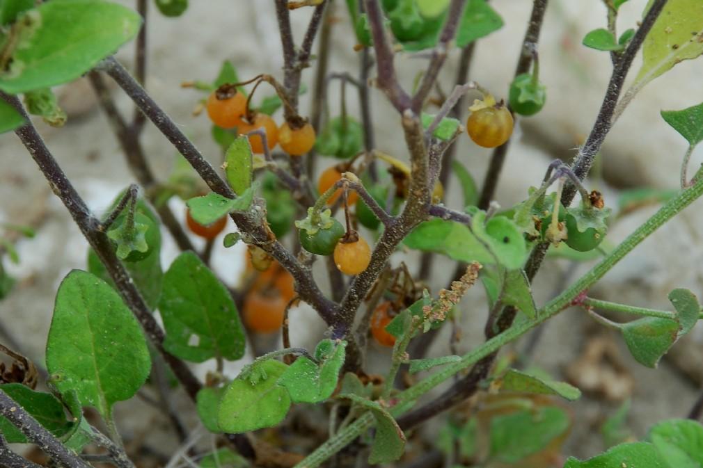 Solanum luteum subsp. luteum 15