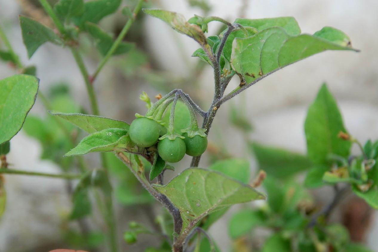 Solanum luteum subsp. luteum 16