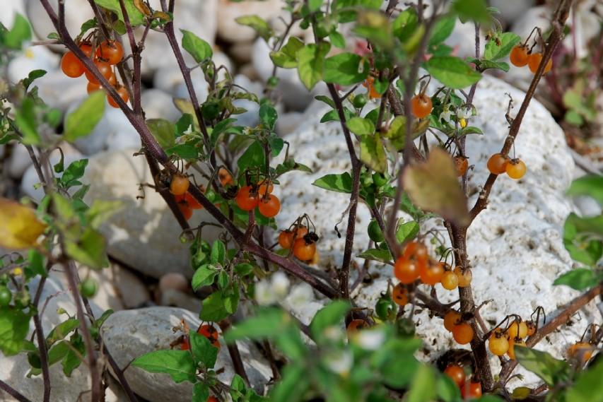 Solanum luteum subsp. luteum 18