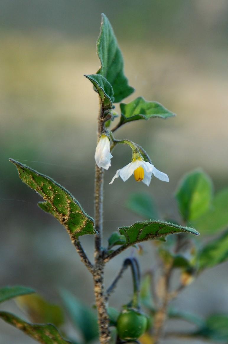 Solanum luteum subsp. luteum 2