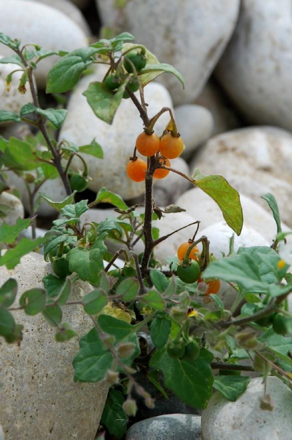 Solanum luteum subsp. luteum 20