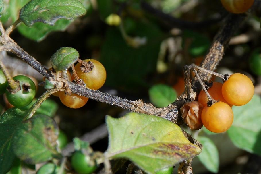 Solanum luteum subsp. luteum 24