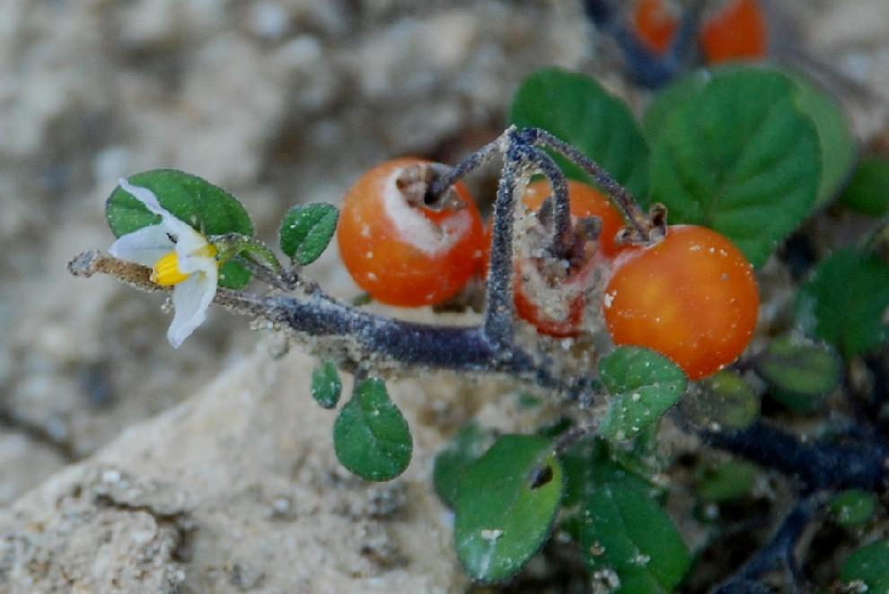 Solanum luteum subsp. luteum 3