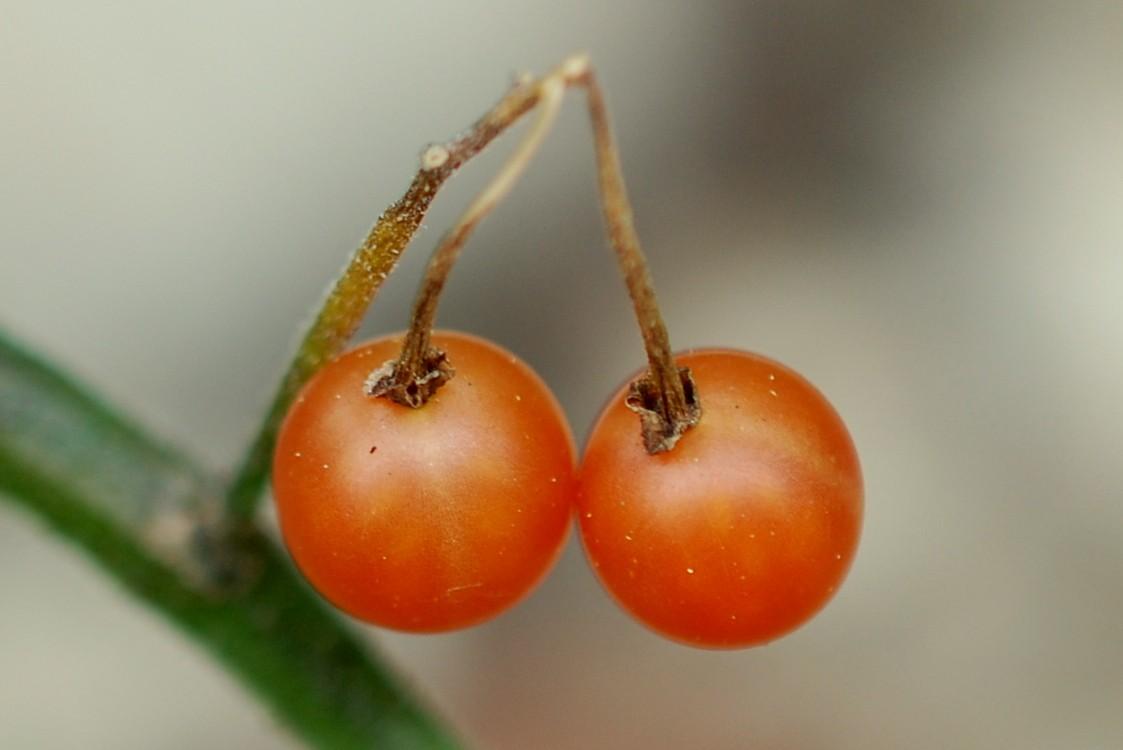Solanum luteum subsp. luteum 31