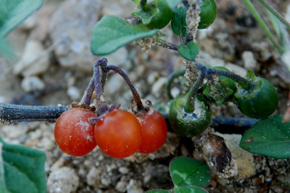 Solanum luteum subsp. luteum 4