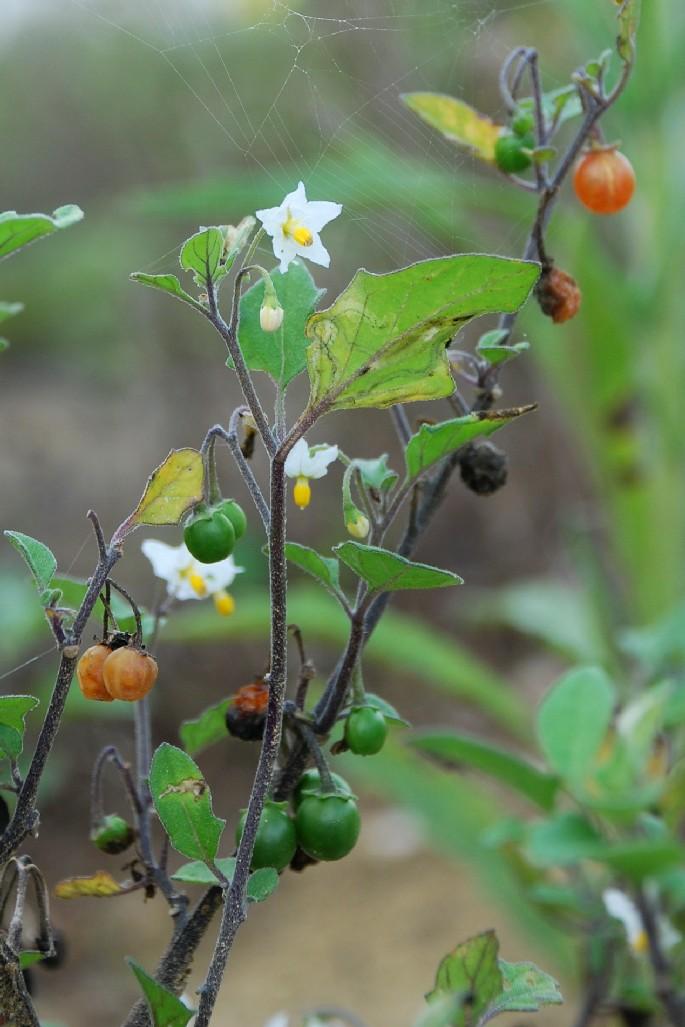 Solanum luteum subsp. luteum 5