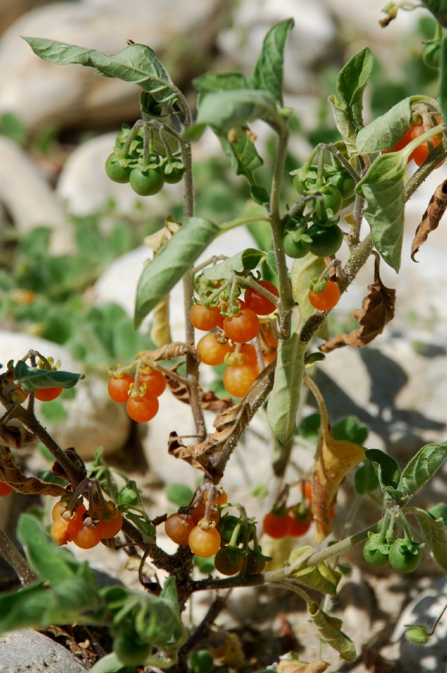 Solanum luteum subsp. luteum 8