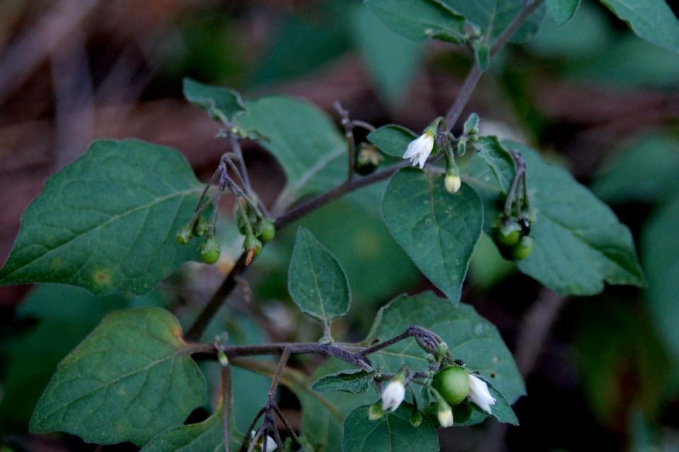 Solanum nigrum subsp. nigrum