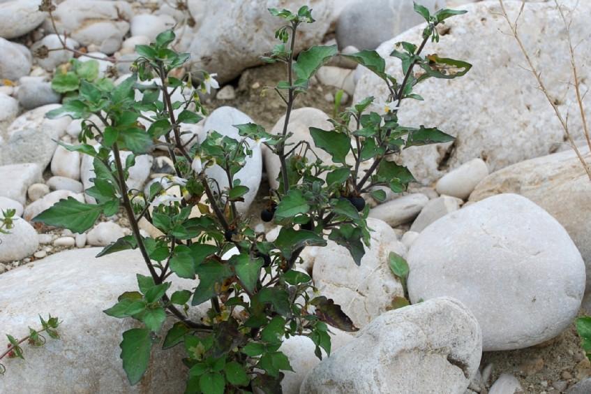 Solanum nigrum subsp. nigrum 10