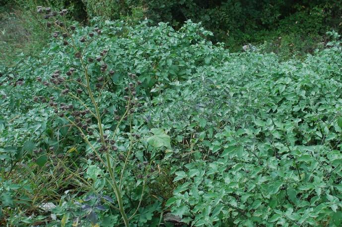 Solanum nigrum subsp. nigrum 14