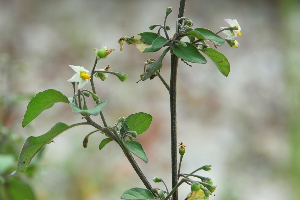 Solanum nigrum subsp. nigrum 16