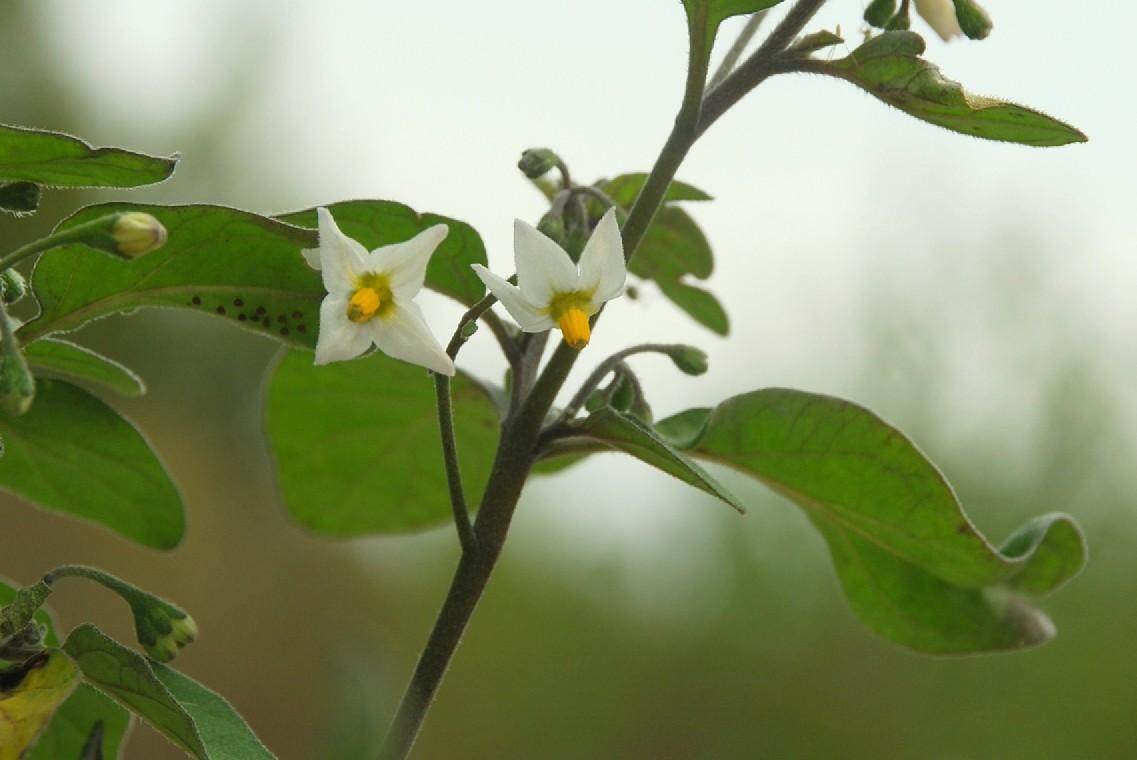 Solanum nigrum subsp. nigrum 17
