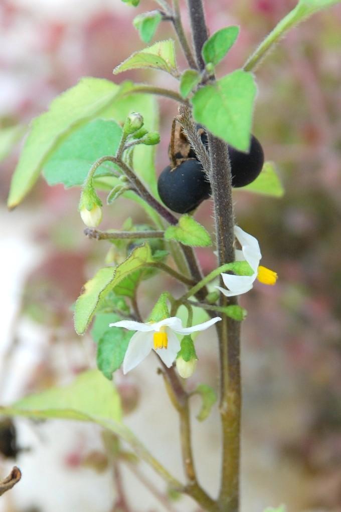 Solanum nigrum subsp. nigrum 18