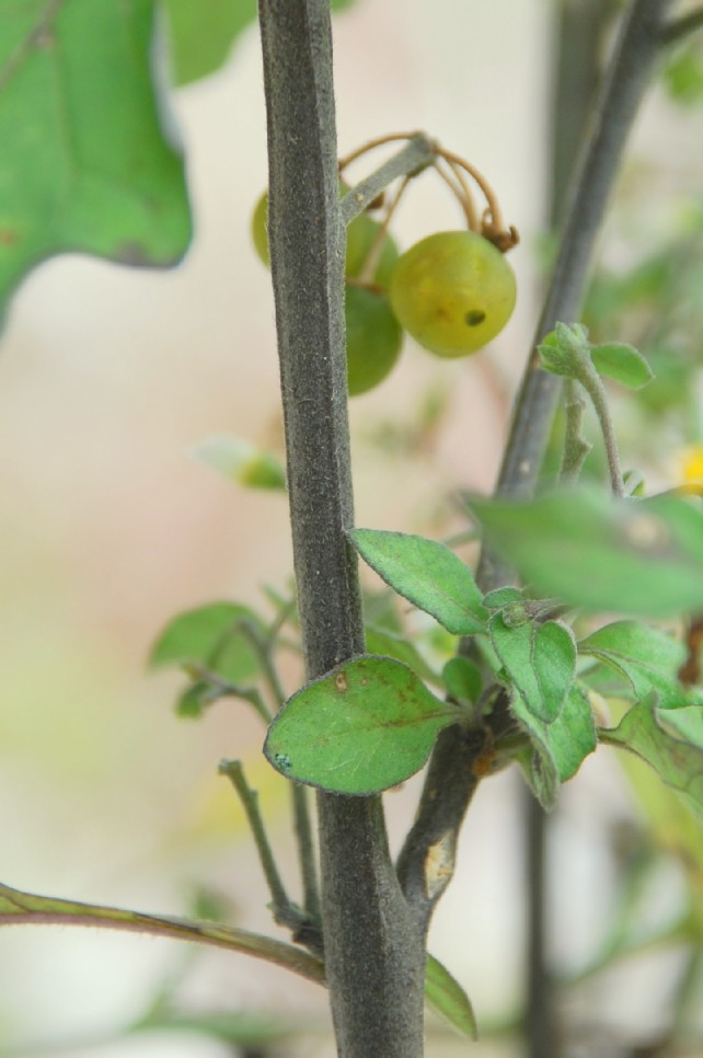 Solanum nigrum subsp. nigrum 20