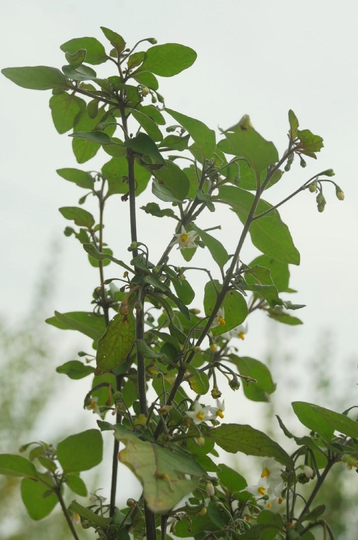 Solanum nigrum subsp. nigrum 21