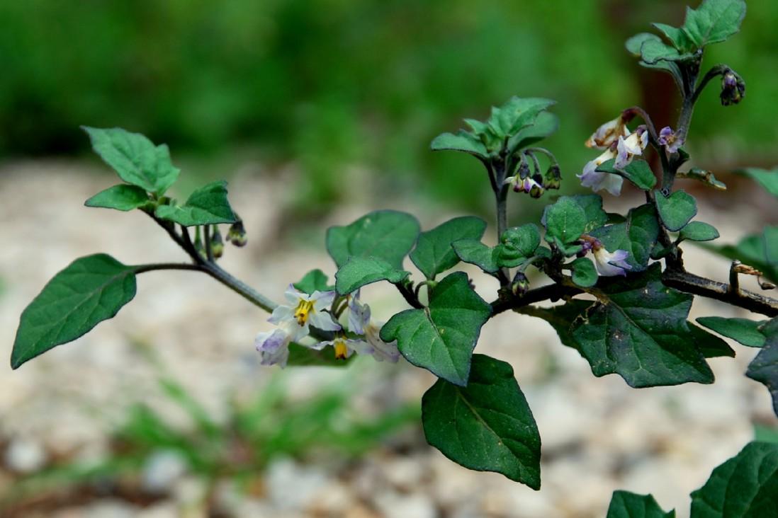 Solanum nigrum subsp. nigrum 25
