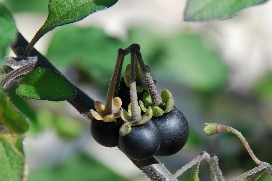 Solanum nigrum subsp. nigrum 3