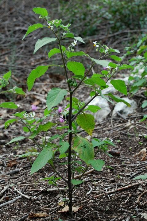 Solanum nigrum subsp. nigrum 5