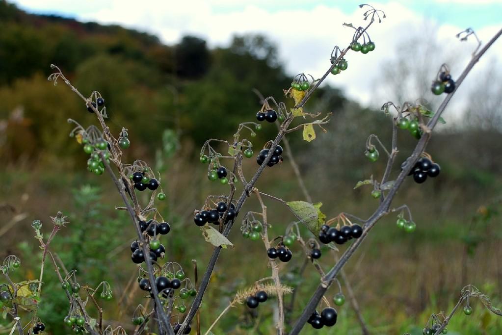 Solanum nigrum subsp. nigrum 6