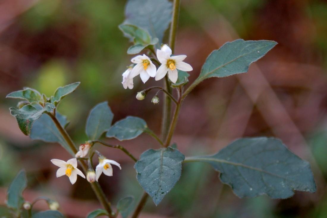 Solanum nigrum subsp. nigrum 7