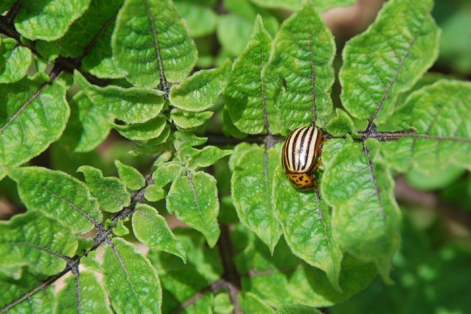 Solanum tuberosum 15