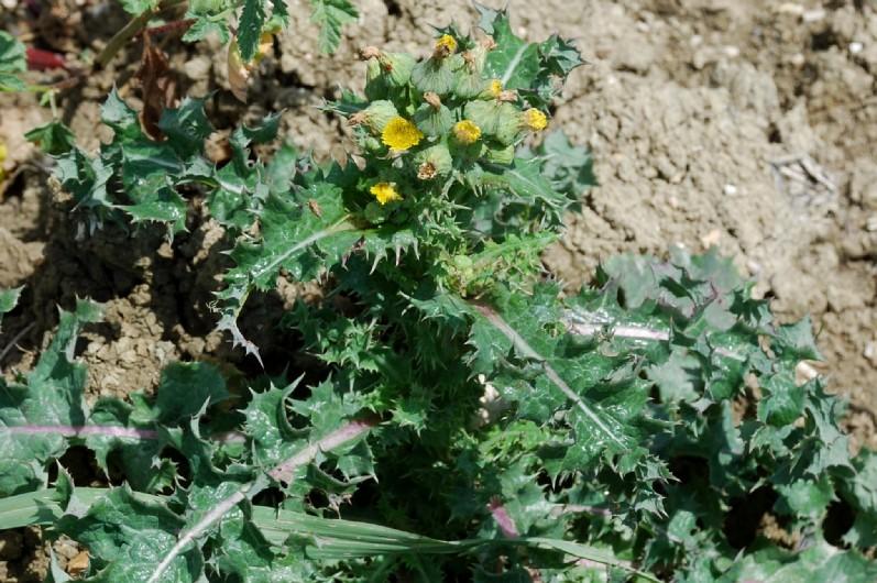 Sonchus asper subsp. asper 10