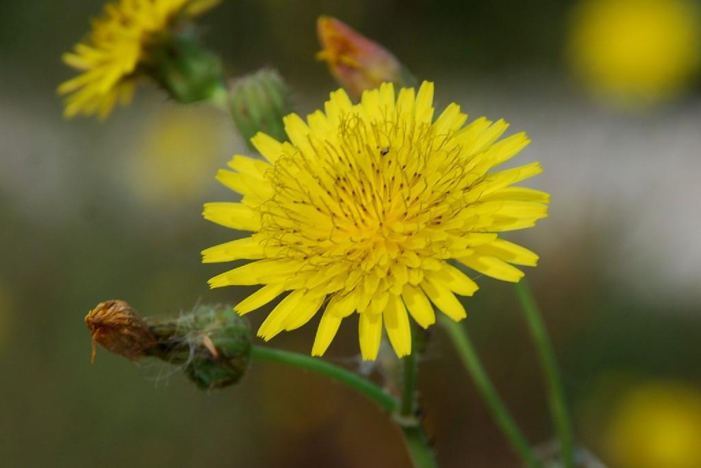 Sonchus asper subsp. asper 14