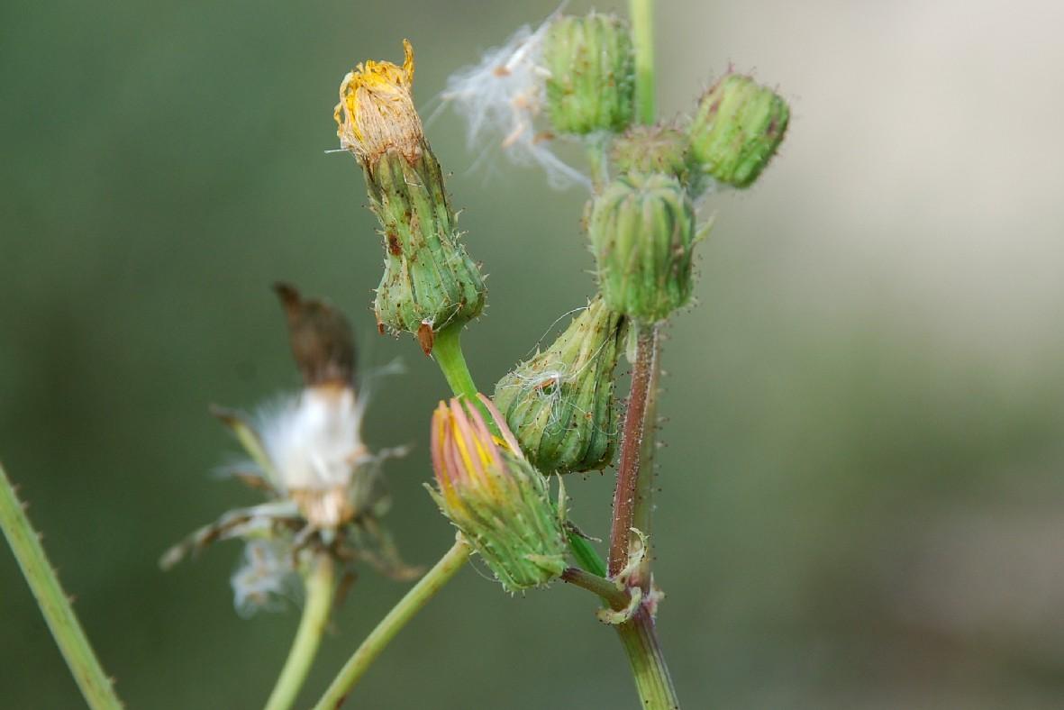 Sonchus asper subsp. asper 15