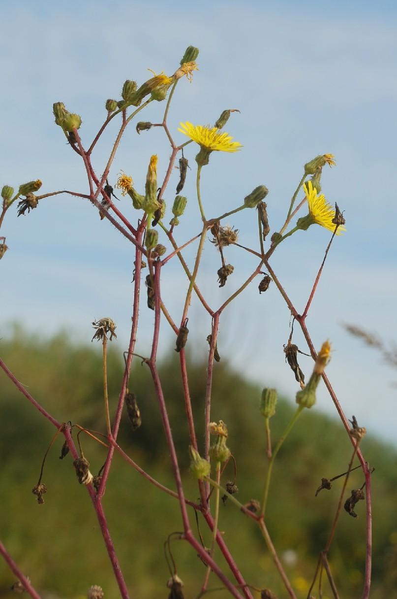 Sonchus asper subsp. asper 16