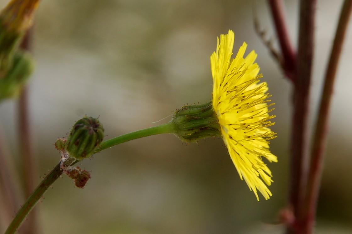 Sonchus asper subsp. asper 18